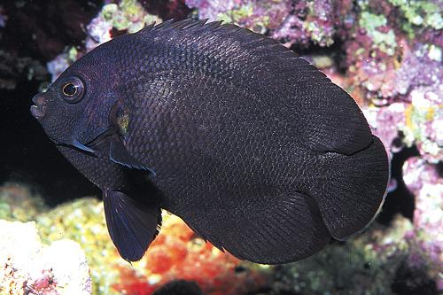 Черная рыба фото