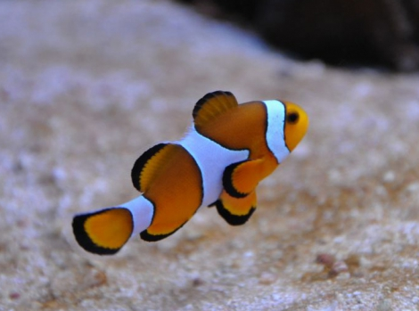 Рыба-клоун - Amphiprion ocellaris